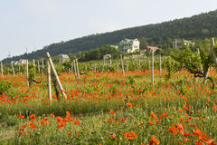 Red poppies and vineyards in hills Stock Photos