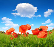 Red poppies. On wheat field Stock Photo