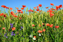 Red poppies in a wheat field against the blue sky Royalty Free Stock Photo