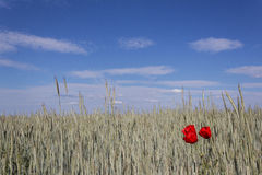 Red poppies and wheat field Stock Images