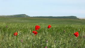 Red Poppies In A Wheat Field stock video footage