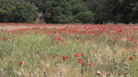 Red  poppies in a wheat field in Provence. stock footage