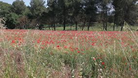 Red  poppies in a wheat field in Provence. stock video footage