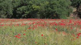 Red  poppies in a wheat field in Provence. stock video