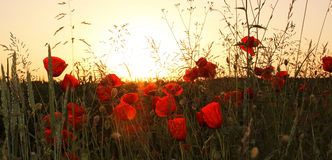 Red poppies in the wheat fields Stock Images