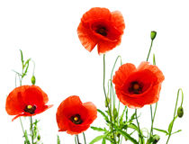 Red poppies on white Stock Images