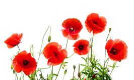 Red poppies on white Stock Photo