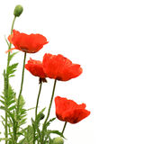 Red Poppies on white Royalty Free Stock Photo