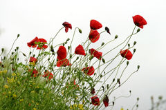 Red poppies on white background. Red poppies isolated on white blurry background, angled composition Stock Photo