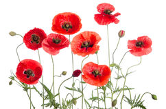 Red poppies. On white background Stock Photography