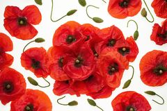 Red poppies on white background - wallpaper, background stock photography