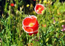 Red poppies with white fringes. Stock Image