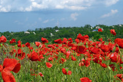 Red poppies. Wild field with red poppies Stock Photos
