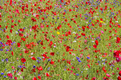 Red poppies and wild flowers. Growing in meadow Stock Images