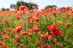 Red poppies. Royalty Free Stock Photography