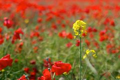 Red Poppies in Wild Poppy Fields Royalty Free Stock Images