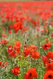 Red Poppies in Wild Poppy Fields Royalty Free Stock Photography