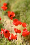 Red Poppies in Wild Poppy Fields Stock Image
