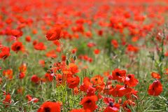 Red Poppies in Wild Poppy Fields Royalty Free Stock Image