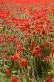 Red Poppies in Wild Poppy Fields. Red Poppies growing wild in fields in the Cotswolds English countryside during Summer. Poppy fields are associated with the d royalty free stock photo