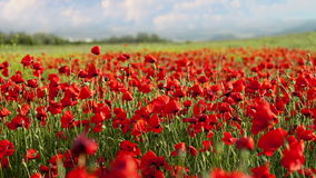 Red poppies in the wind stock video footage