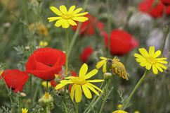 Red poppies and yellow daisies Royalty Free Stock Image