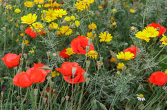 Red poppies and yellow daisies Stock Photography