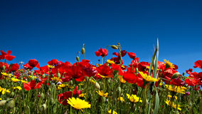 Red Poppies and Yellow Daisies Royalty Free Stock Photo