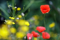Red poppies and yellow dandelions Royalty Free Stock Photo