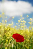 Red poppies and yellow field Royalty Free Stock Photos