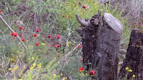 Red poppies and yellow flowers, branches of trees and stump breeze rustles the grass stock video footage