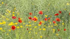 Red poppies with yellow flowers on a green wild field Stock Images