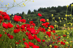 Red poppiies and yellow flowers. Greece Royalty Free Stock Photos
