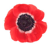 Red poppy. On a white background Stock Images