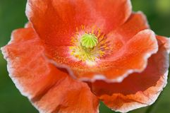 Red poppy. Closeup of beautiful red poppy stock photos