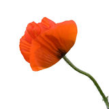 Red poppy. A closeup of a red poppy isolated on pure white background stock photography