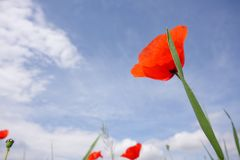 Red poppy. Against blue sky Royalty Free Stock Photo