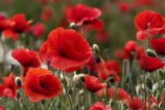Free Red Poppy Stock Photos - 13286333
