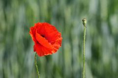 Red poppy. On a green background Royalty Free Stock Images