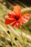 Red poppy Stock Photos