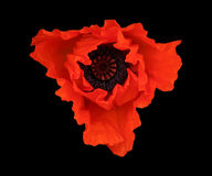 The Red Poppy. A red poppy flower isolated on a black background stock photos