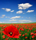 Red poppy. Red poppies on green field Stock Images