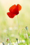 Red Poppy. Close up of a red poppy with buds stock image