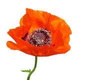 Red poppy. Isolated on white background Royalty Free Stock Image