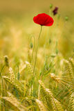 Red poppy. In a barley field Stock Images