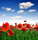 Red poppy. Field of poppies and a perfect sky Royalty Free Stock Image