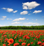 Red poppy. Poppies in a green wheat field Stock Photography