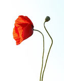 Red poppy. And a bud against a white background royalty free stock image