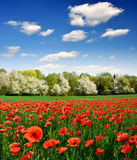 Red poppy Stock Photos