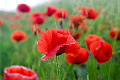Red poppy. Red spring poppy in the green field Stock Image